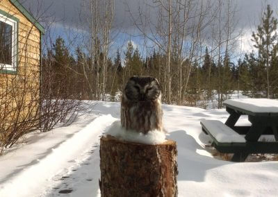 owl-wildlife-sundog-retreat-whitehorse-yukon